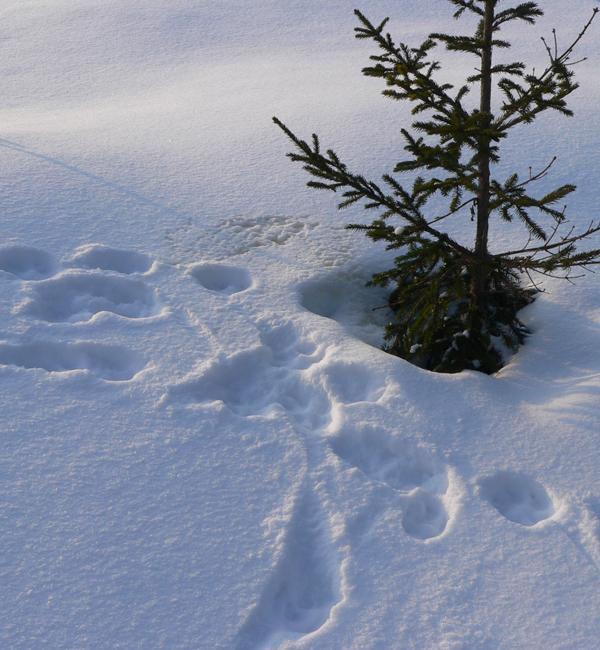 revespor i snøen
