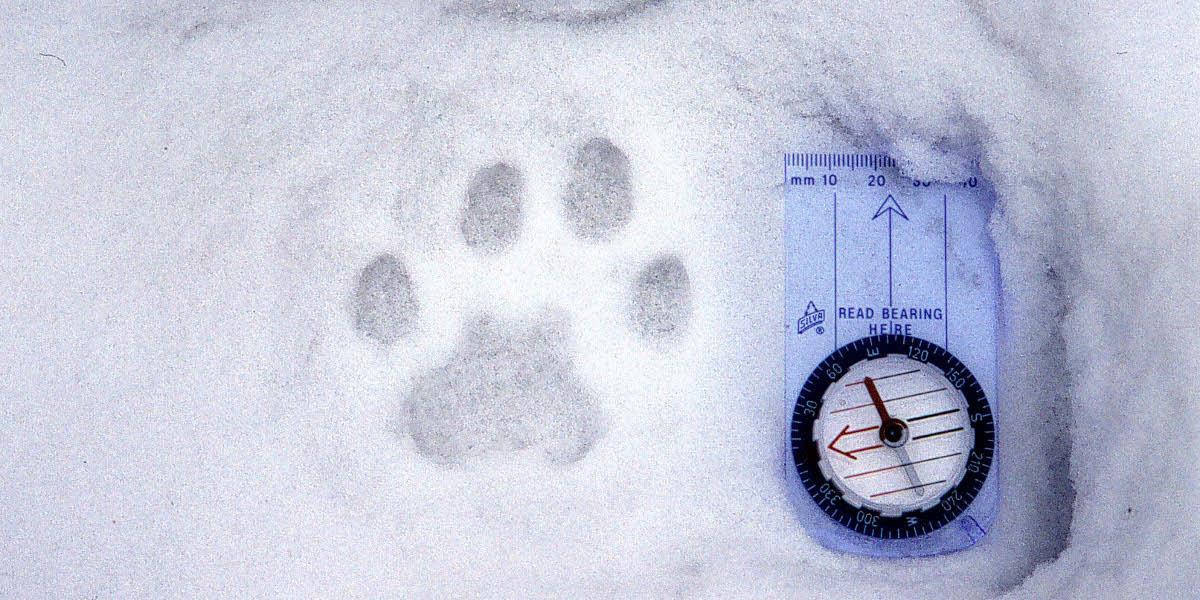 Gaupespor. Foto: John Linnell, Norsk institutt for naturforskning