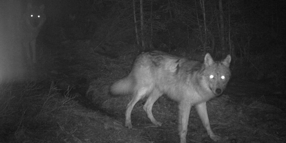 Utrolig Nye bilder av ulvevalpene i Østmarka ES-05
