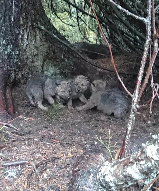 Storslått To ulvekull er bekreftet født i 2017 XS-25