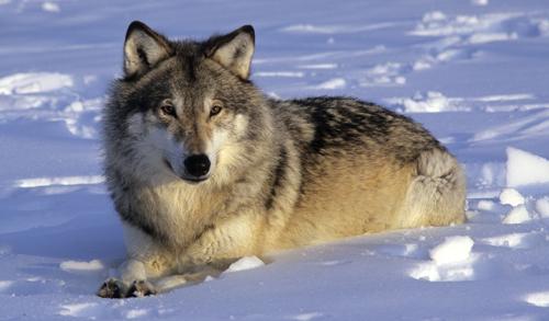 Ultra Fakta om ulv TP-48